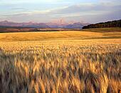 WheatField&Tetons. Young wheat. Idaho Wheat Fields
