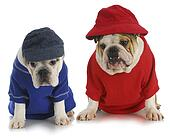 Picture of two english bulldogs k6440477 - Search Stock ...