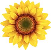 Sunflower illustrations and clipart