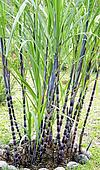 Sugar Cane Plant stock photos and images