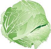 Head lettuce Clip Art and Stock Illustrations. 43 head ...