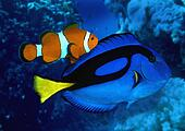 Stock images of fish blue tang surgeonfish clownfish for Blue tang fish facts