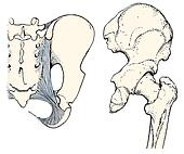 Clipart of Sacrotuberous ligament, canine mva34021 ... Sacrotuberous Ligament Dog