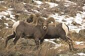 the background information of the bighorn sheep ovis candensis